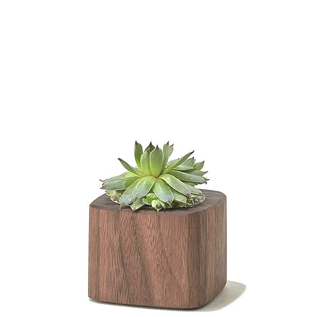 WALNUT PLANTER - SHORT